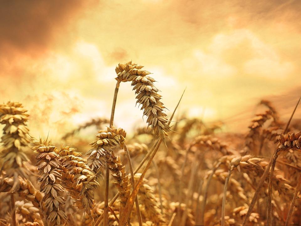 wheat sheaf omer